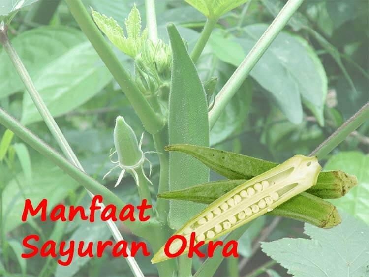 Ragam Manfaat Tersembunyi Sayuran Okra Untuk Kesehatan