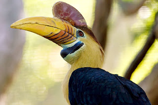 Citizen science initiative helps save hornbills