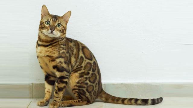 Γάτα Βεγγάλης: Μια μικρή λεοπάρδαλη στο σαλόνι μας