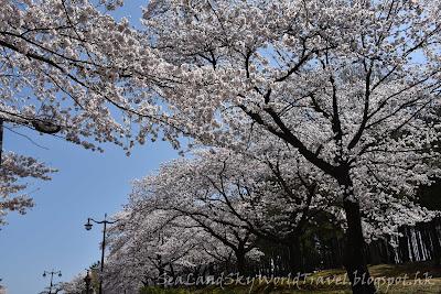 慶州普門湖櫻花