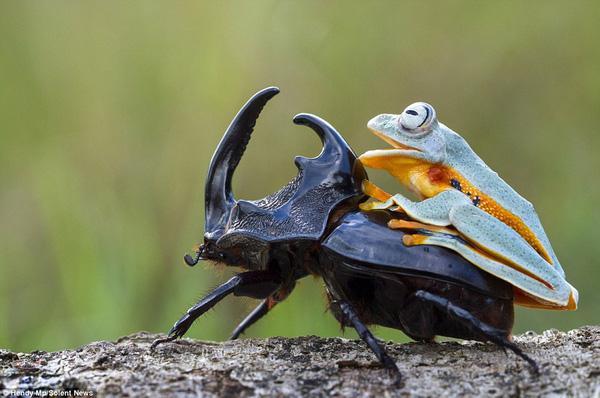 Ếch gan lì cưỡi trên lưng bọ cánh cứng, nhất quyết không buông tha