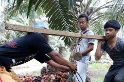 agar buah kelapa sawit besar dan berat