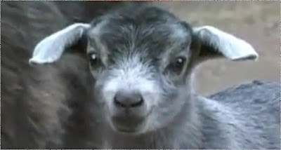 Click here to gigle with the goats
