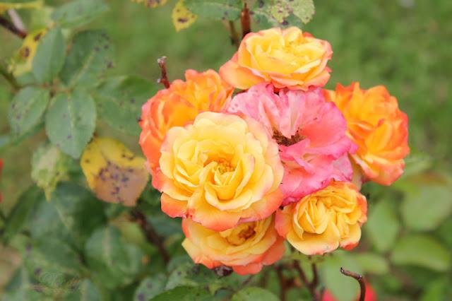 Rose mit gelb-orangefarbenen und rosa Blütenblättern