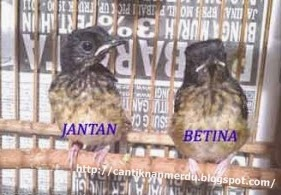 Burung Murai Batu - Cara Membedakan Burung Murai Batu Jantan Trotolan dan Burung Murai Batu Betina Trotolan - Penangkaran Burung Murai Batu