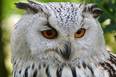 White Owl with Orange Eyes