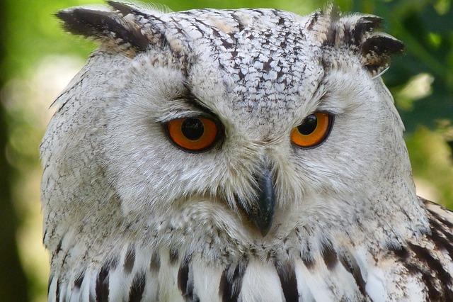 White Owl with Orange Eyes