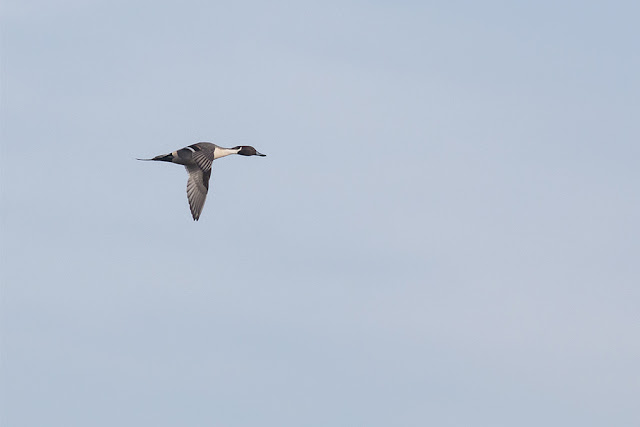 Male Pintail in Flight