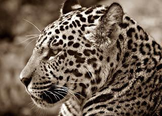 jaguar, animales en portugués, nombres científicos