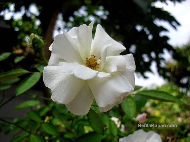 5 Bunga Untuk Perawatan Kecantikan dan Kesehatan