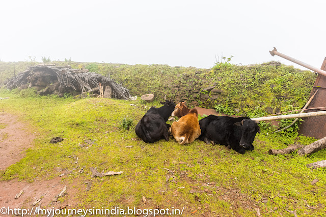 Cows at Mullayanagiri Peak