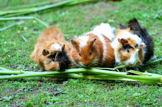 Three guinea pigs eating a stalk on grass
