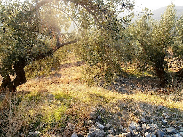 Olive Tree, Olive Groves, Sierra Sur de Jaen, Andalusia, Spain