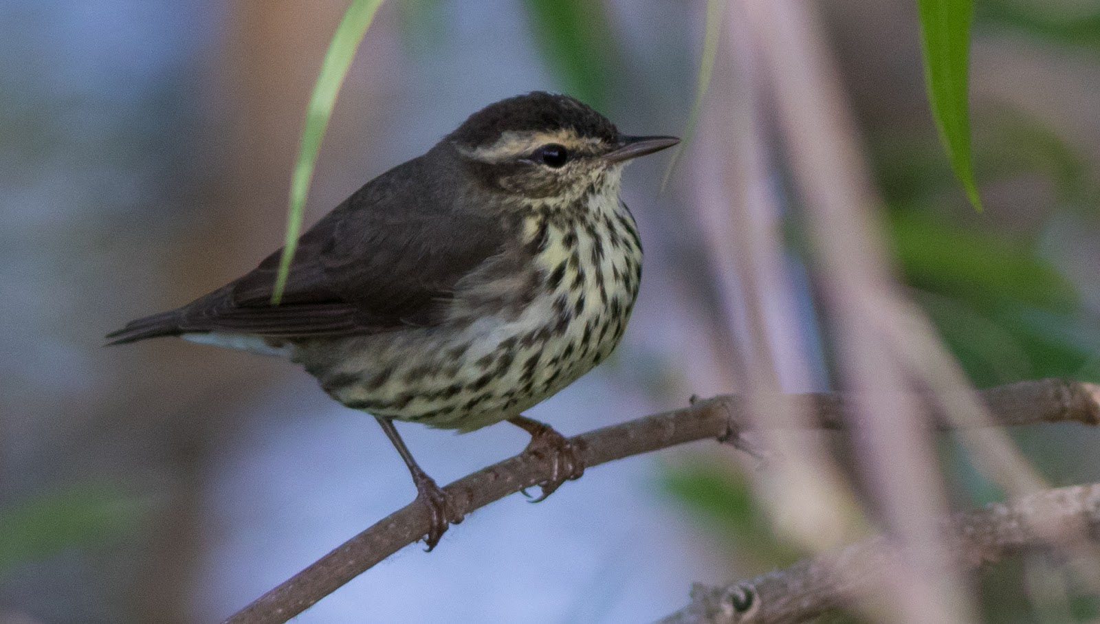 Northern Waterthrush at Lake Apopka, 3/10/18