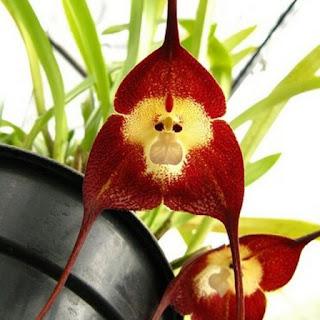 Gambar Bunga Anggrek Tercantik di Dunia 21