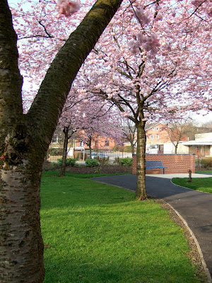 Cherry trees in springtime on Lower Falinge in Rochdale.