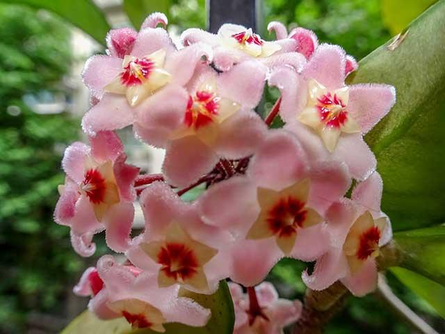 Flor de Clepia tomada desde muy cerca
