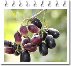 manfaat vitamin dan mineral buah jamblang untuk kesehatan