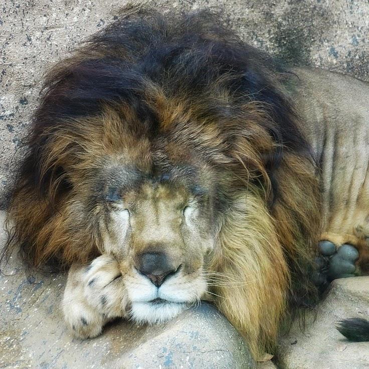 Leão dormindo no Mundo Animal, no Beto Carrero World.