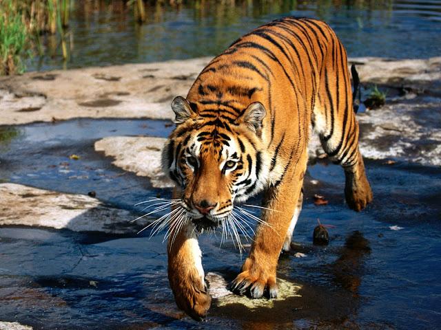 Populasi Harimau yang Mengecil di Planet Kita