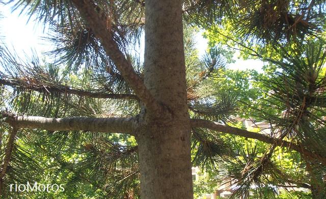 Tronco de Pino negro Pinus uncinata