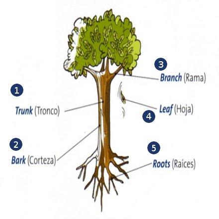 Partes de un rbol en ingl s blog para aprender ingles for Cuales son las partes de un arbol
