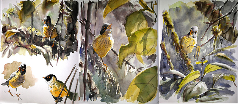 sketches nightingale trush, aquarelle