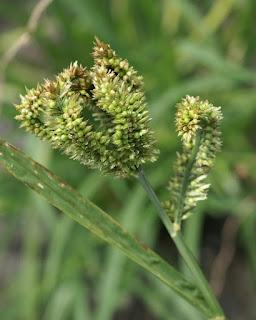Coracan - Eleusine à larges épis - Eleusine coracana 'Green Cat'