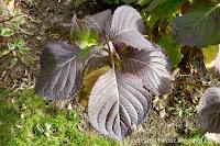 Hortensja- Hydrangea