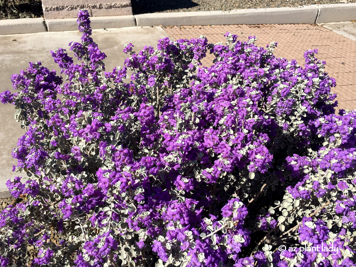 Fall Blooming Plants Archives Ramblings From A Desert Garden