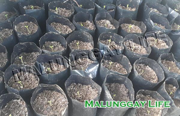 how-to-germinate-moringa-seeds