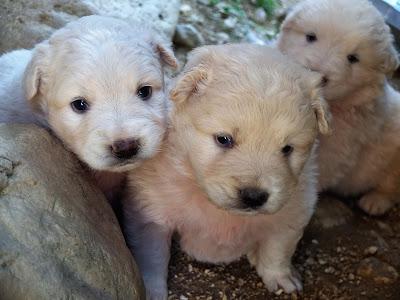 Cuccioli Mastino Abruzzese