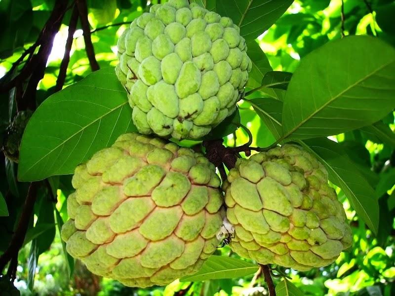 merupakan flora buah yang mempunyai banyak sebutan di banyak sekali kawasan di Indonesia Manfaat Daun dan Buah Srikaya untuk Pengobatan