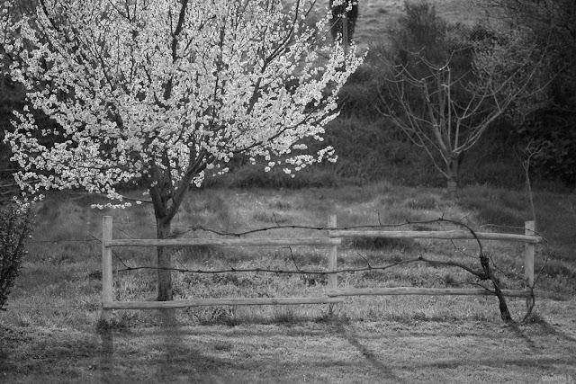 Albero fiorito in controluce. Foto con Panasonic Leica Nocticron 42.5mm f/1.2