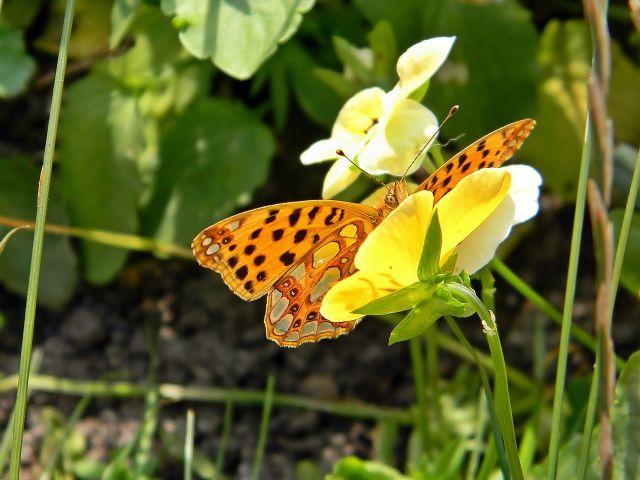 motyle Polski, łąka, kwiaty
