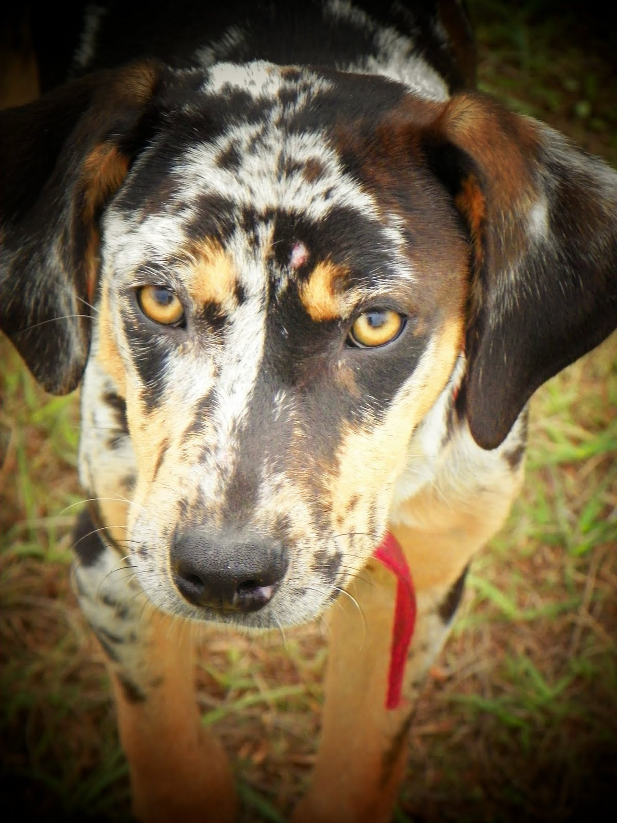 The Catahoula Hog Dog: Hog Dogs For Sale Ain't What They Used To Be!