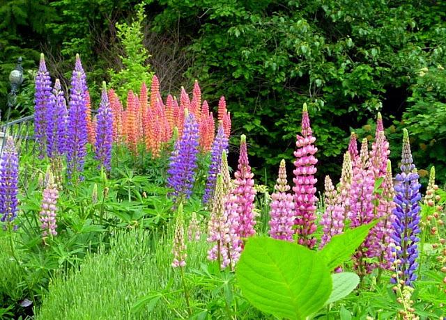 Podem ser de diversas cores, desde o branco ou o rosa até cores mais vivas como a violeta ou o azul. O lupino começa a florescer no início do verão. Precisa de bastante sol, e não resiste aos ventos.