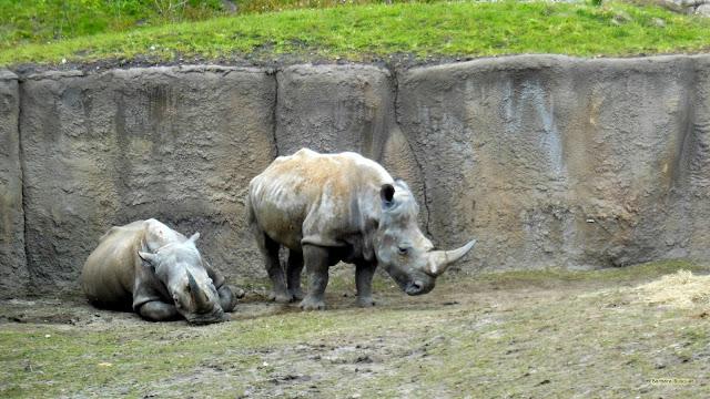 Twee witte neushoorns in de dierentuin