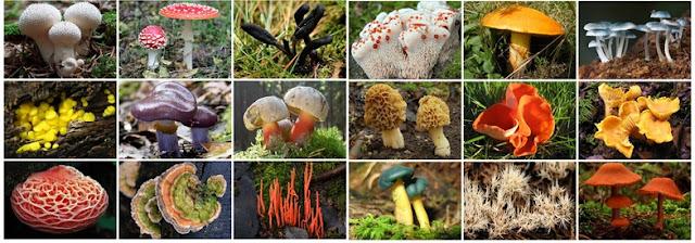 reino fungi classificação