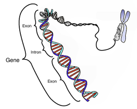 Rangkuman Biologi GEN (Pengertian gen, Struktur gen, Fungsi/Sifat gen, Letak gen  dan Contoh beserta gambar gen) adalah materi pembelajaran biologi tingkat SMA kelas 12 yang akan kita bahas kali ini yaitu mengenai rangkuman biologi gen lengkap. semoga dapat membantu