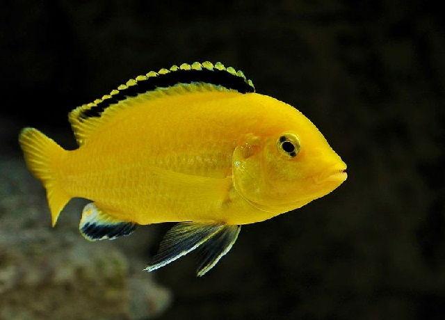 Ikan Hias Lemon