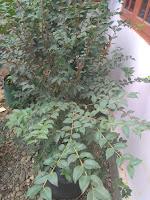 Bibit Anggur Sabara Unggul