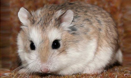 cuanto cuesta un hamster roborowski