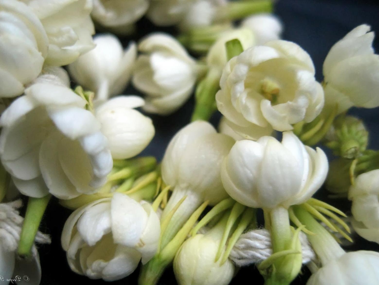 Gambar Bunga Melati Indah Dan Wangi Studio Gambar Lucu