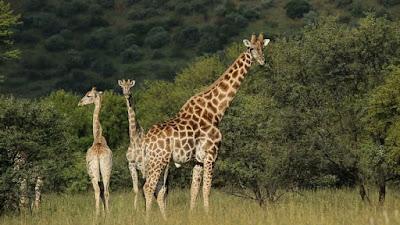 Klasifikasi Giraffa camelopardalis