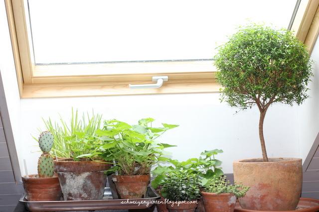 ein schweizer garten zimmerpflanzen das gr n des winters. Black Bedroom Furniture Sets. Home Design Ideas