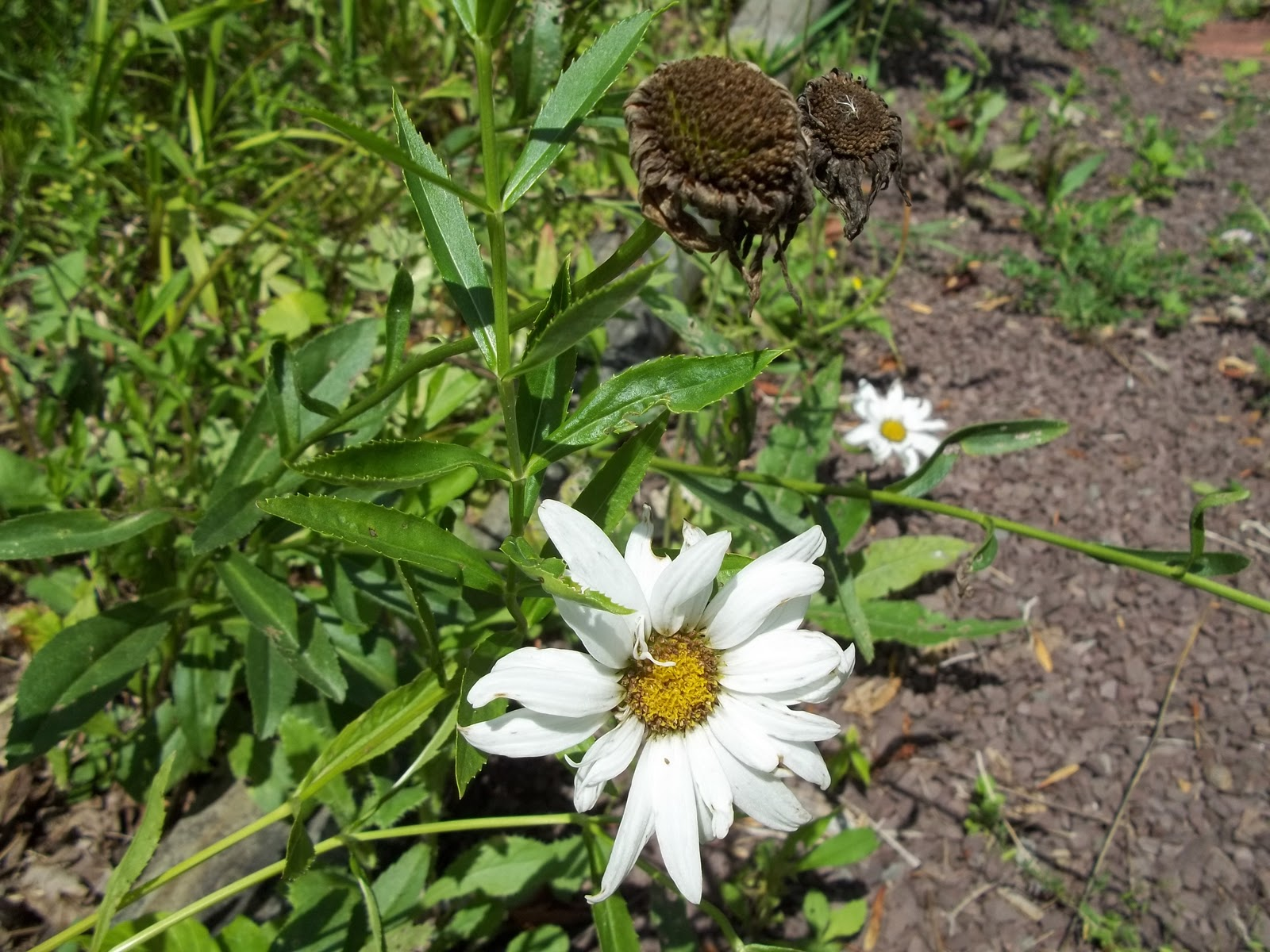 How To Collect Daisy Seeds