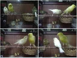 Berdasarkan Pasangan Burung Kenari Perjodohan Burung Kenari Dibagi Menjadi Dua Bagian - Solusi Penangkaran Burung Kenari