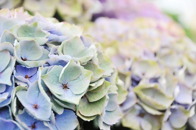 Blue Antique Hydrangeas