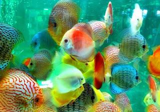 Penyakit pada Ikan Discus